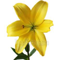 Yellow LA Hybrid Lily Flowers