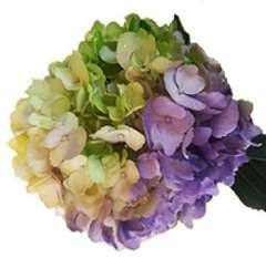 Tie Dye Green Purple White Hydrangea
