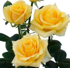 Yellow Ecuadorian Roses for Valentine's Day