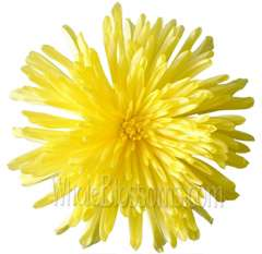 Yellow Spider Mum Anastasia Flower