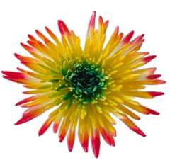 Yellow Spider Mums Green Center and Red Tips