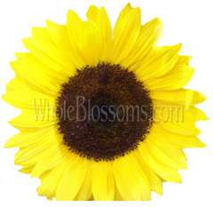 Yellow Sunflowers Dark Center | Extra Large