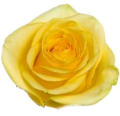 Tutti Organic Yellow Rose