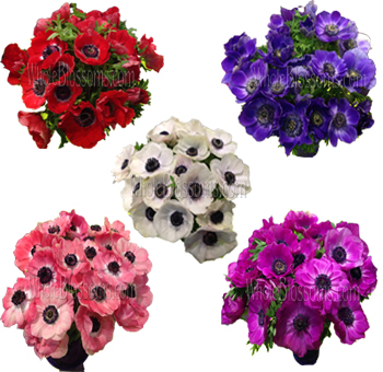 Anemone June to November Delivery
