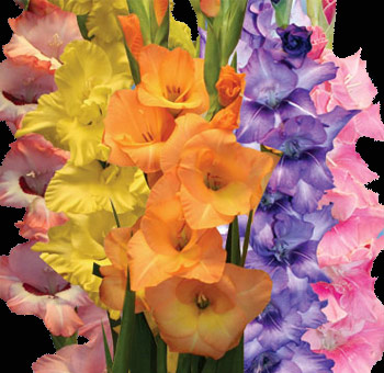Assorted Gladiolus Flowers