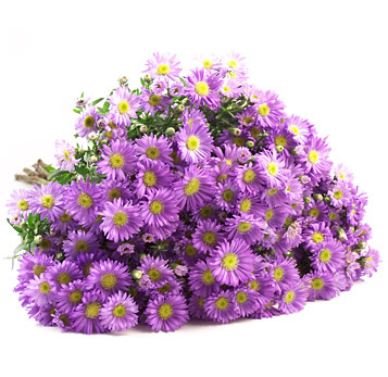 Aster Purple Pink Flowers