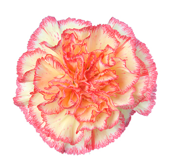 Yellow Bicolor Carnation Flower Overnight Delivery