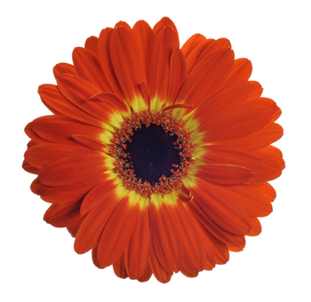 Bicolor Orange Gerbera Daisy
