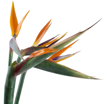 Wholesale Birds of Paradise