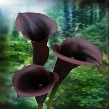 calla lilies - Calla Lily Flower