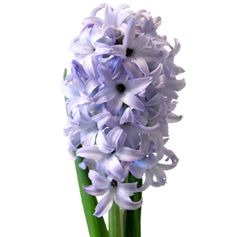 Hyacinth Blue Giant Flower