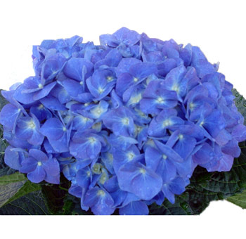 Elite Shocking Blue Hydrangeas