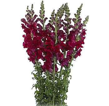 Burgundy Snapdragon Flowers
