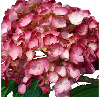 Burgundy Airbrushed Hydrangea Flower