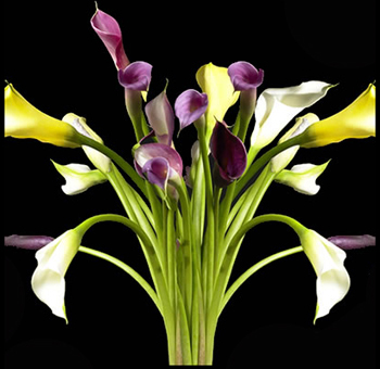 Assorted Mini Calla Lily Flowers