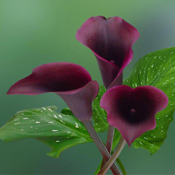 Calla Lily Purple Flower Naomi