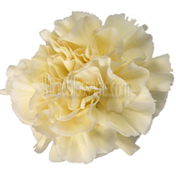 Ivory Carnation Flowers Overnight Delivery