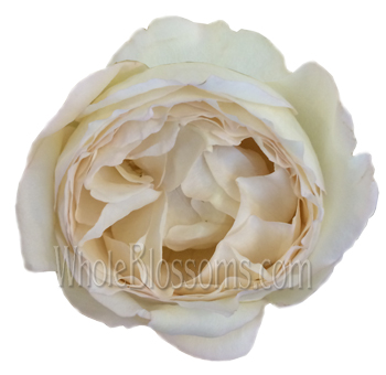 classic woman bright love garden rose