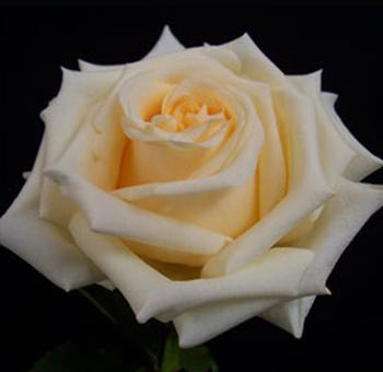 wholesale creme de la cr me rose flower at wholesale prices. Black Bedroom Furniture Sets. Home Design Ideas