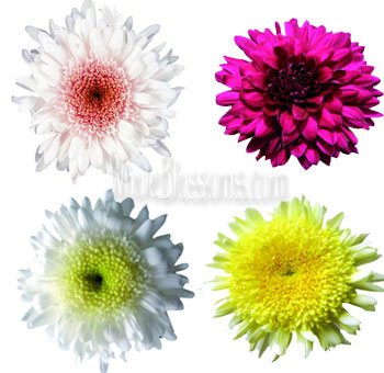 Cremon Disbud Flower - Assorted