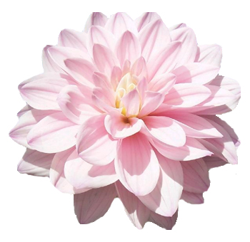 Light Pink Lavender Dahlia Flower