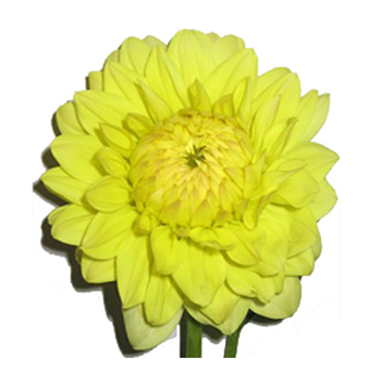 Yellow Dahlia Flower