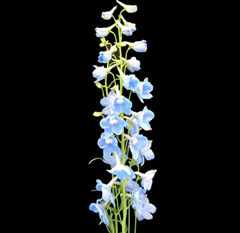 Delphinium-Light-Blue