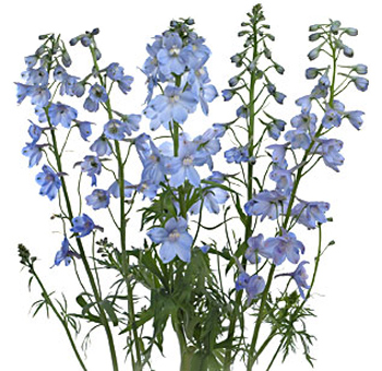 Delphinium Light Blue