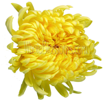 Buy blue jumbo football mum flower for sale mum cremon yellow flower mightylinksfo