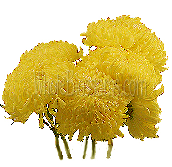 Jumbo Football Mum Yellow Flowers