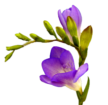 Freesia Purple Flower