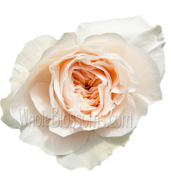 Juliette Drouet Spray Garden Rose Pink Flower