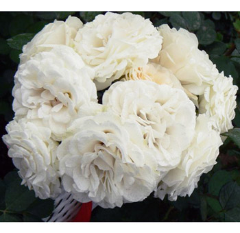 White Spray Garden Rose