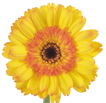 Gerbera-Bicolor-Yellow-Orange