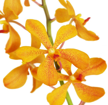 Gold Mokara Orchid Flower