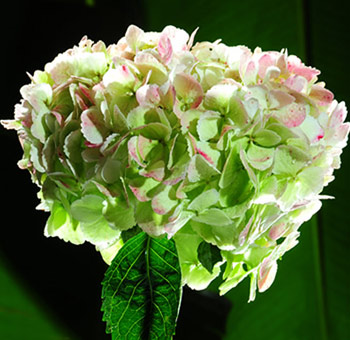 Green Antique Hydrangea