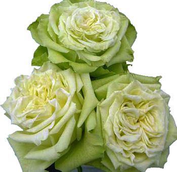 Green Garden Rose Flower