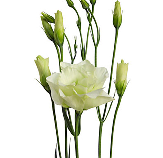 Lisianthus Green Flower