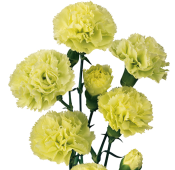Green Mini Carnations for Valentine's Day