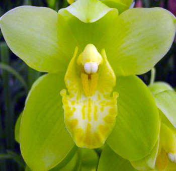 Green Cymbidium Orchid (Yellow Throat)