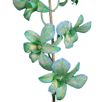 Green Dendrobium Orchid Dyed