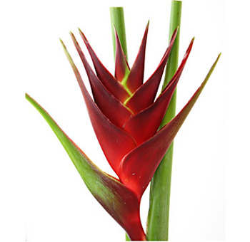 Heliconia Dark Red Flower