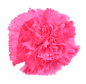 Carnation Hot Pink Flowers Fancy
