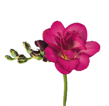 Freesia Fuchsia Hot Pink Flower