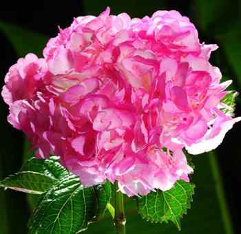Hot Pink Hydrangea Tinted Flower