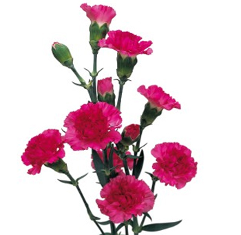 Hot Pink Mini Carnations for Valentine's Day