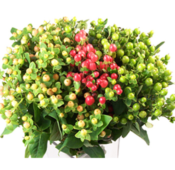 Hypericum Flowers Assorted Colors