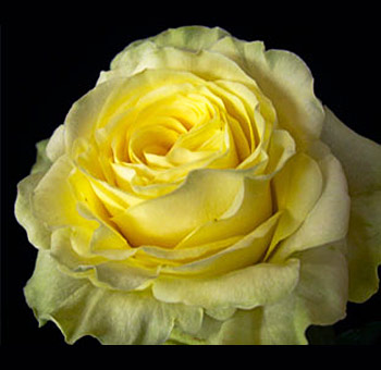 Illiois Yellow Rose
