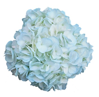 Hydrangea Jumbo Light Blue Tinted Flower