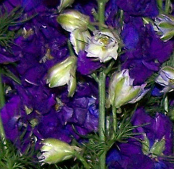 Larkspur-flower-Purple